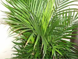 Areca - Areca Palm are also called Butterfly Palm and Cane Palm. These palms should not be put near a draft of any kind. Areca like bright light but not direct sunlight so they can be in a room with a window but not put directly in front of a window. They need a well draining, aerated soil. * Information taken from House Plants Expert *
