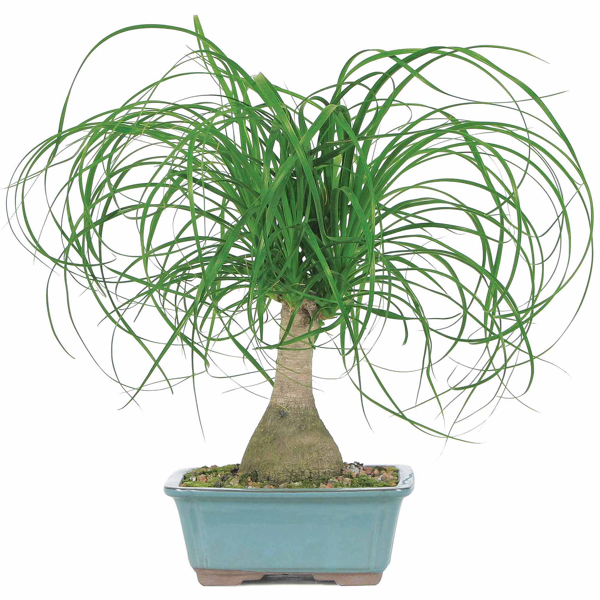 Ponytail - Ponytail should be a few feet away from a window. They like six hour so sunlight a day and should be rotated every few months. Ponytail Palms do not need to be watered often- once every couple of weeks. * Information taken from Joy Us Garden *