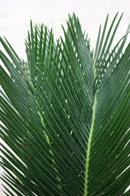 Sago - Sago Palms like bright, indirect light. The soil should be kept moist. Watering around the crown in not advised as this will make the plant rot. In the winter, Sago can be watered less. Sago needs well draining and aerated soil. * Information taken from House Plants Expert *
