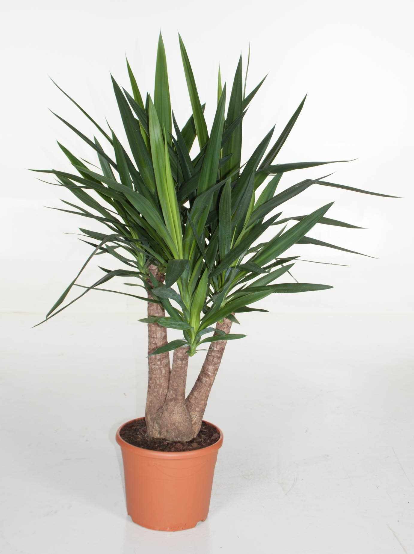 Yucca - Yucca like to have full sun light so being near a west window is best. Yucca like to have loose, well draining soil. Yucca should be watered consistently but should never be left to sit in water. They can be watered more sporadically in winter time. * Information from The Spruce *