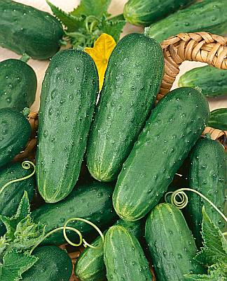 homemade pickles - This variety was developed for the home gardener and home pickling use. A heavy producer of solid, crisp pickles. Can be harvested when 2