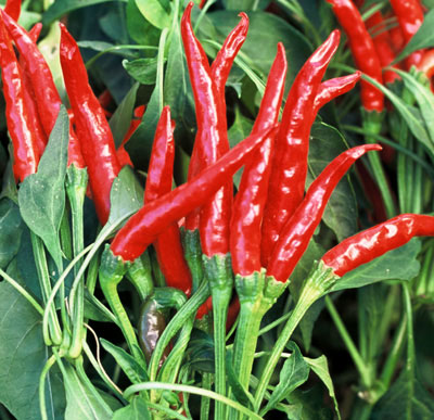 thai hot - Very hot variety. Small, slim dark green peppers that are about 1