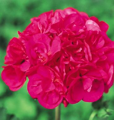 cherry rose -