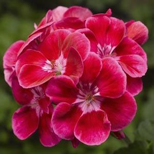 deep rose with eye -