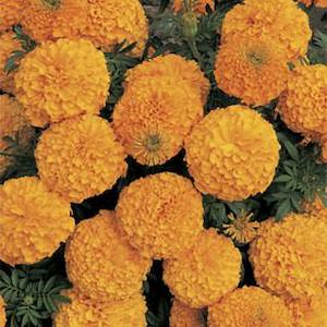 Marigold Inca II Orange.jpg