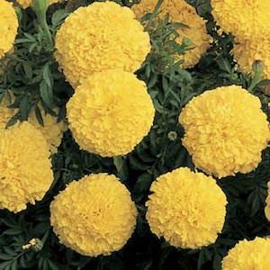 Marigold Inca II Yellow.jpg