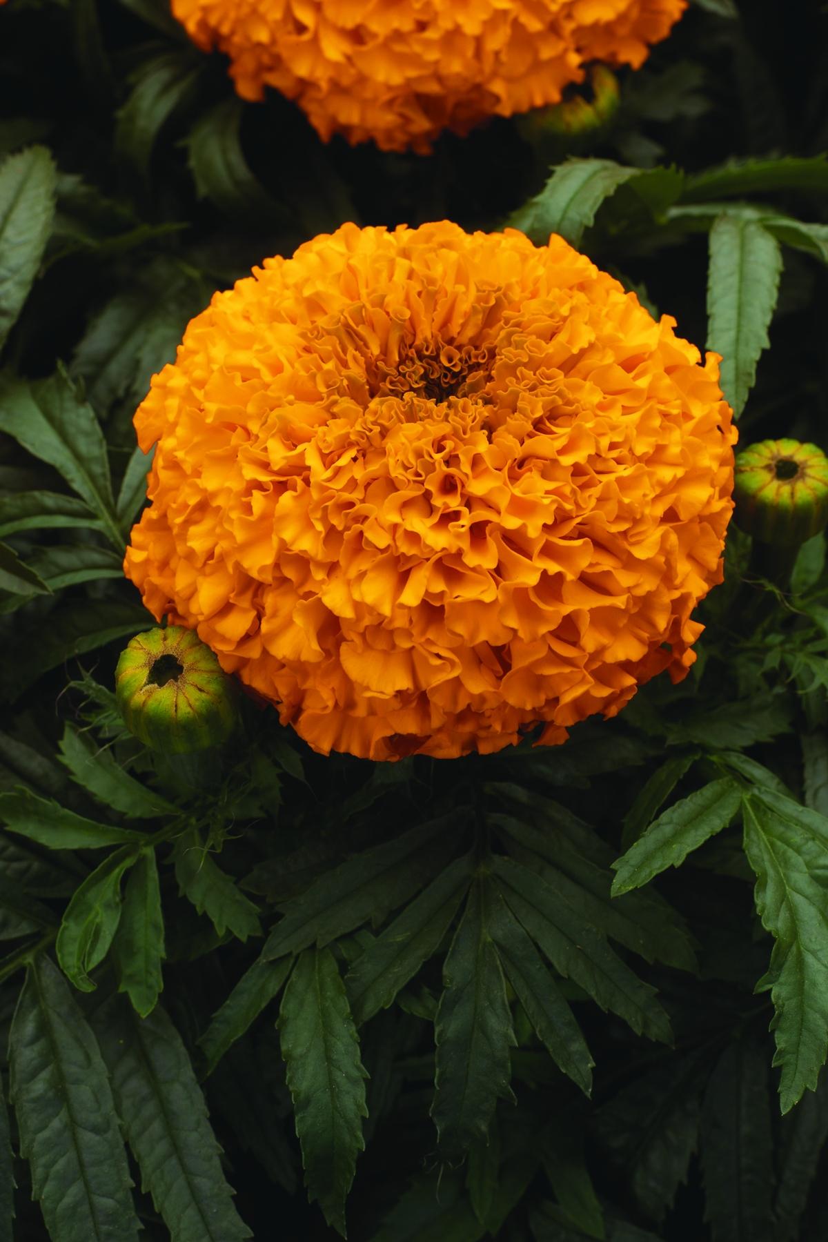 Marigold Orange Lady.jpg