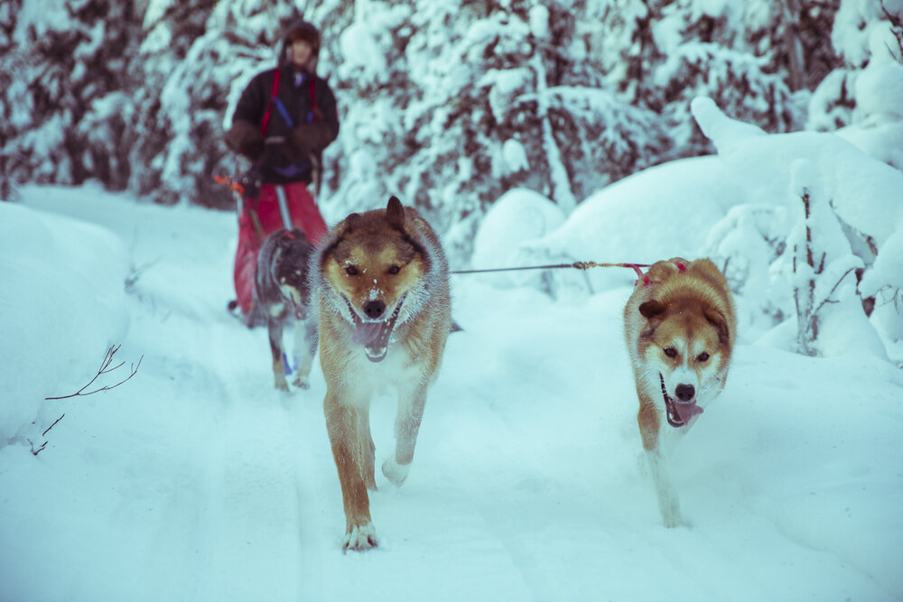 Mush your own team of Alaskan Huskies! - Here at Friendly Arctic Adventures, we offer an authentic dog mushing experience. You will learn the basics of dog mushing, including harnessing and hooking up dogs before the run, then you will head out on the trails with a very experienced guide.