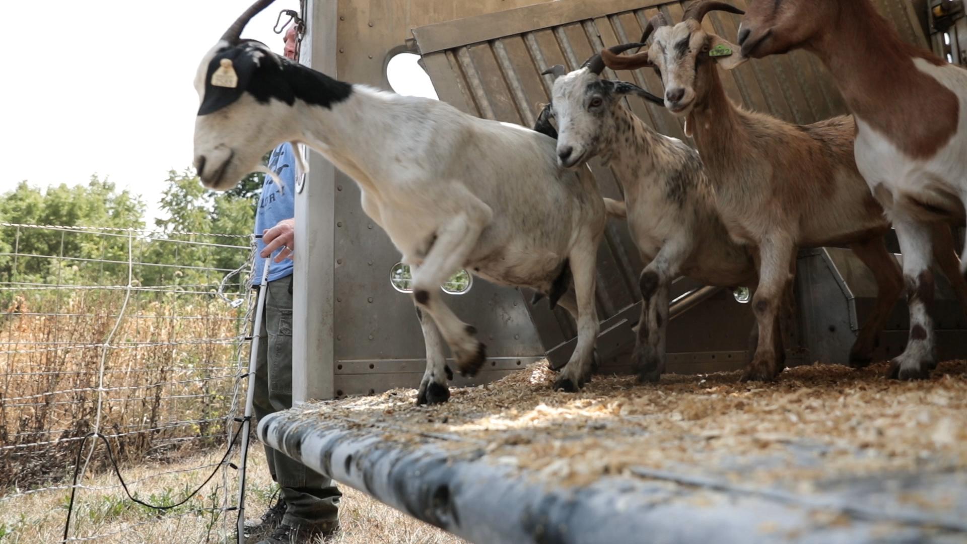 Goats Crowdfunding.00_00_51_23.Still012.jpg