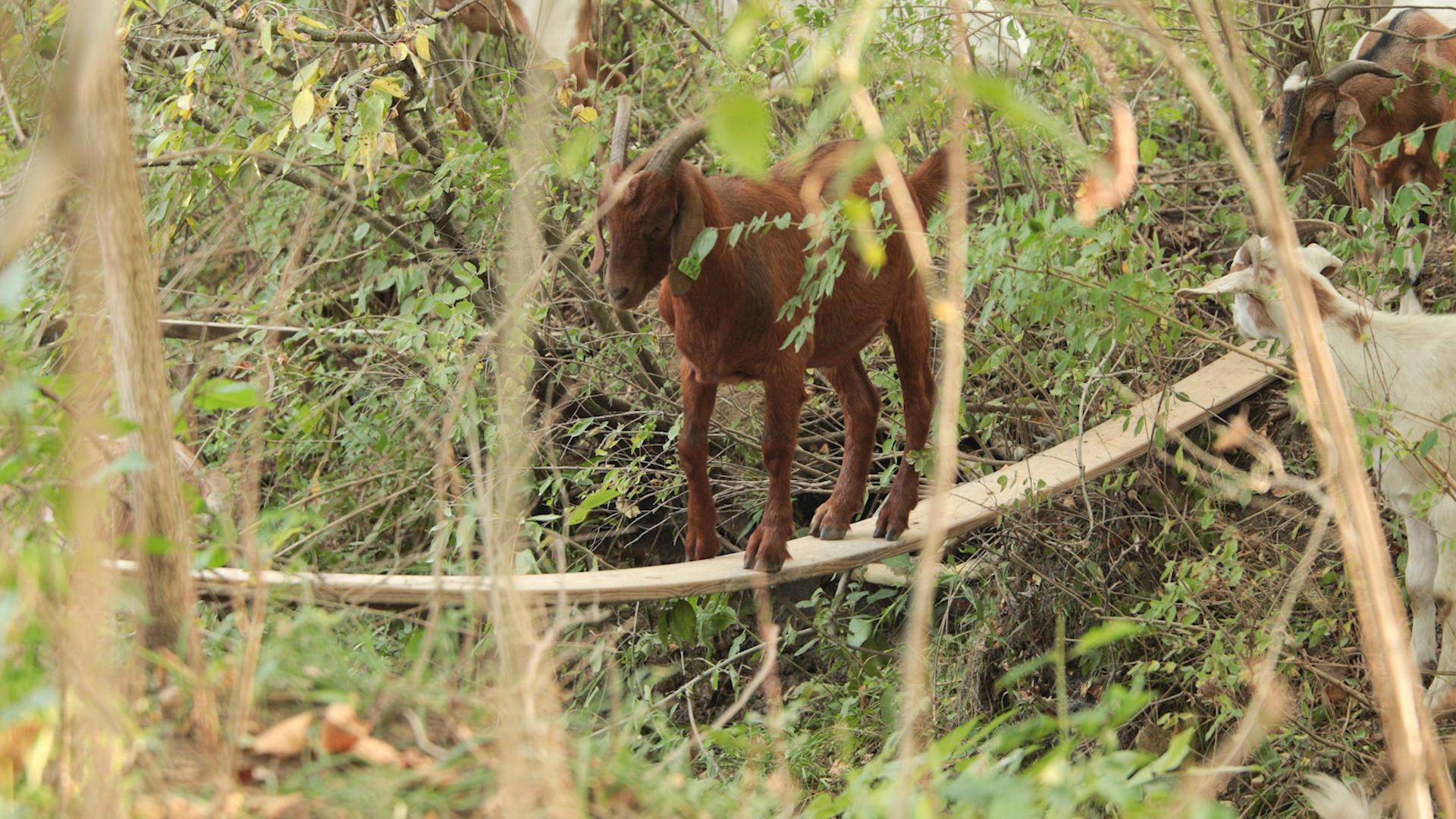 Goats Crowdfunding.00_02_46_15.Still044.jpg
