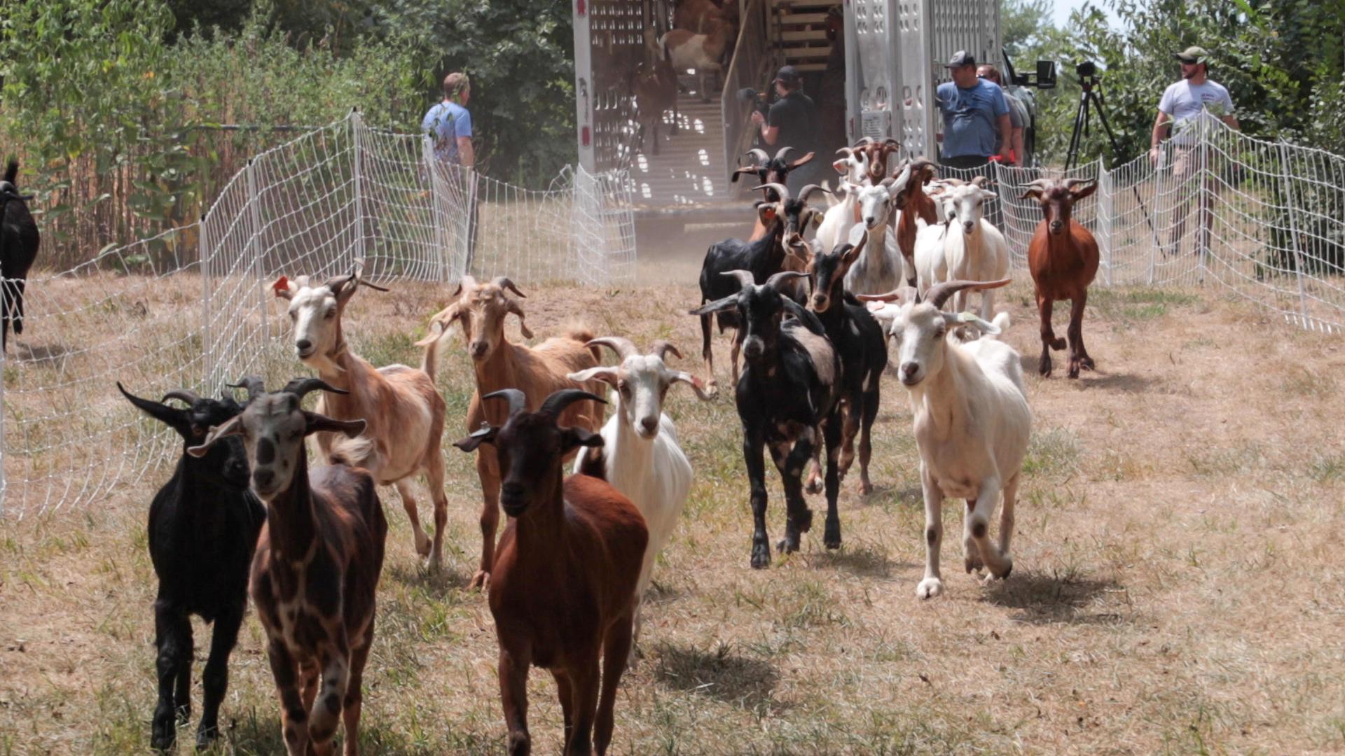 Goats Crowdfunding.00_02_04_25.Still034.jpg
