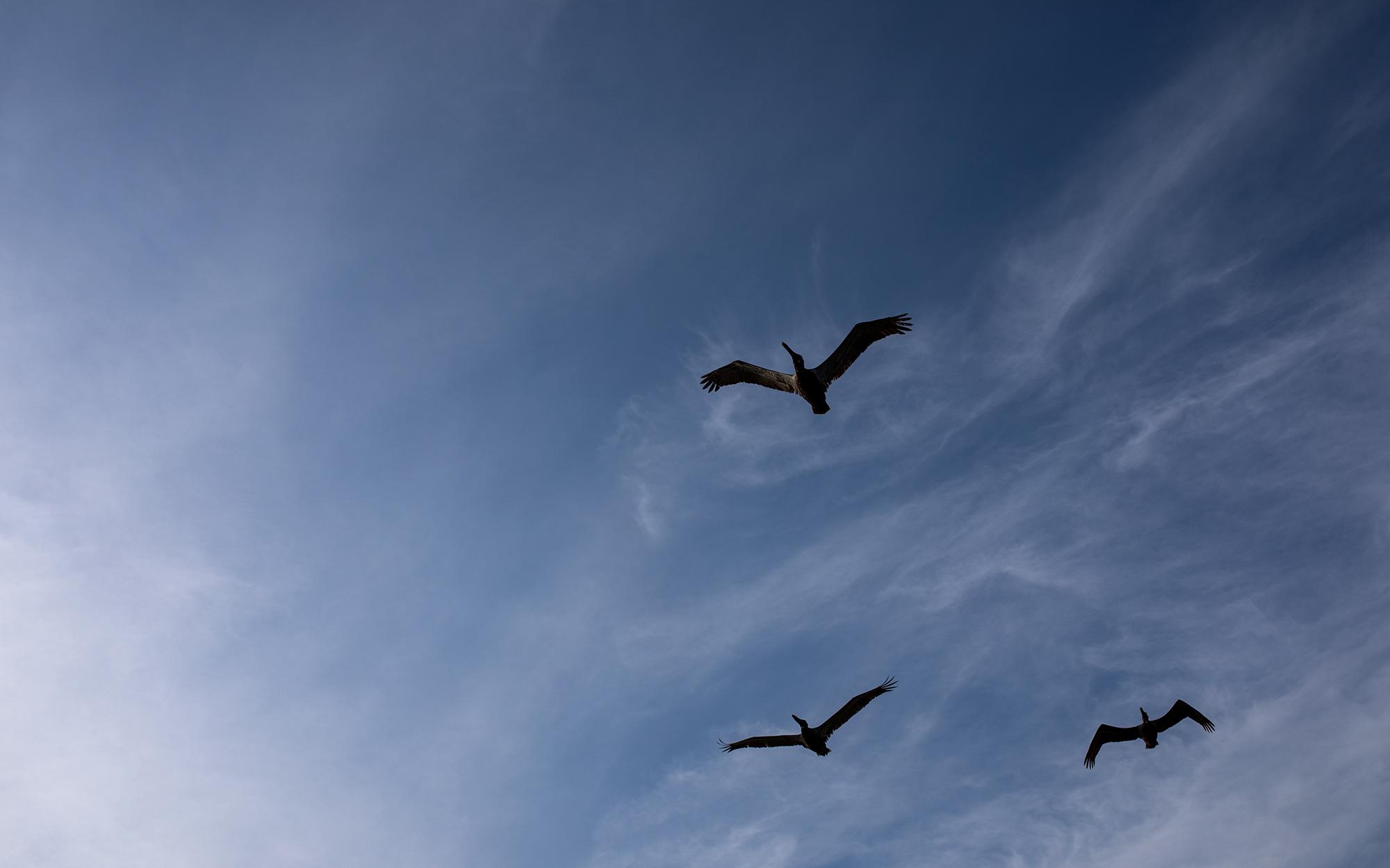 Brown pelicans get in formation. | Padre Island National Seashore, Texas | June 2018