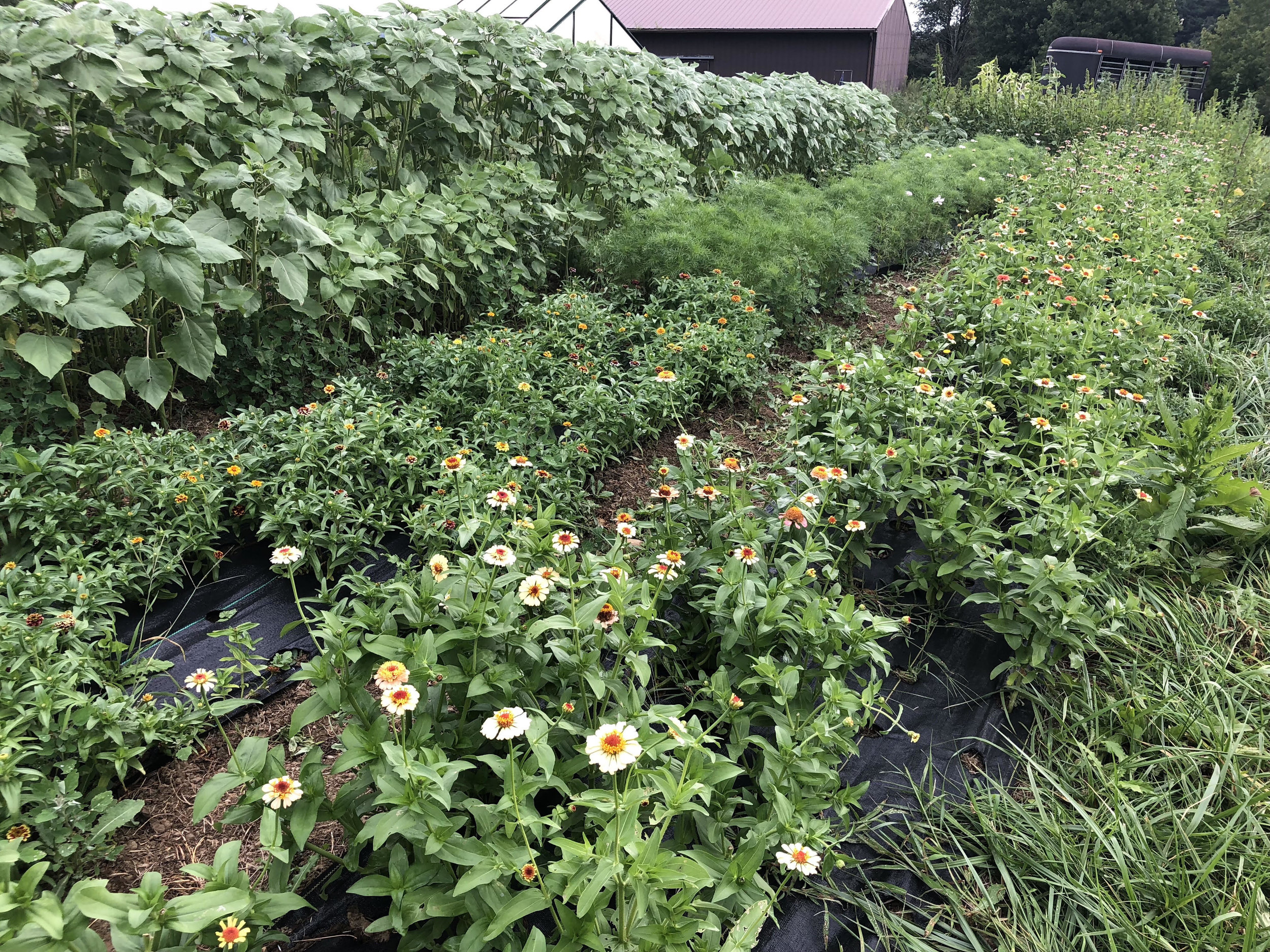 Our 'late-crop' garden of zinnias, sunflowers, cosmos, and the amaranth and scabiosa behind me.