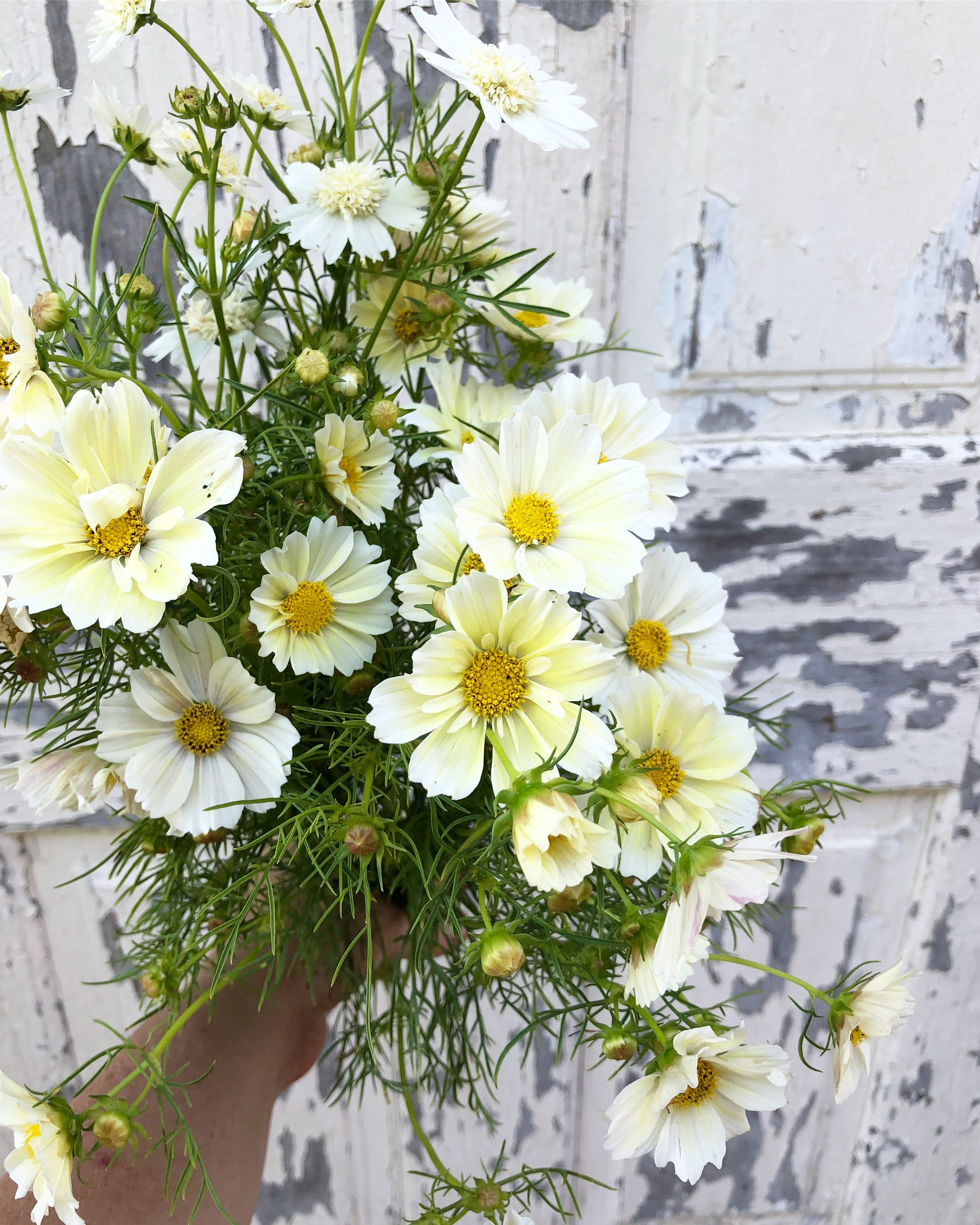 A healthy handful of 'Xanthos' cosmos outside the studio door. The first of the season.