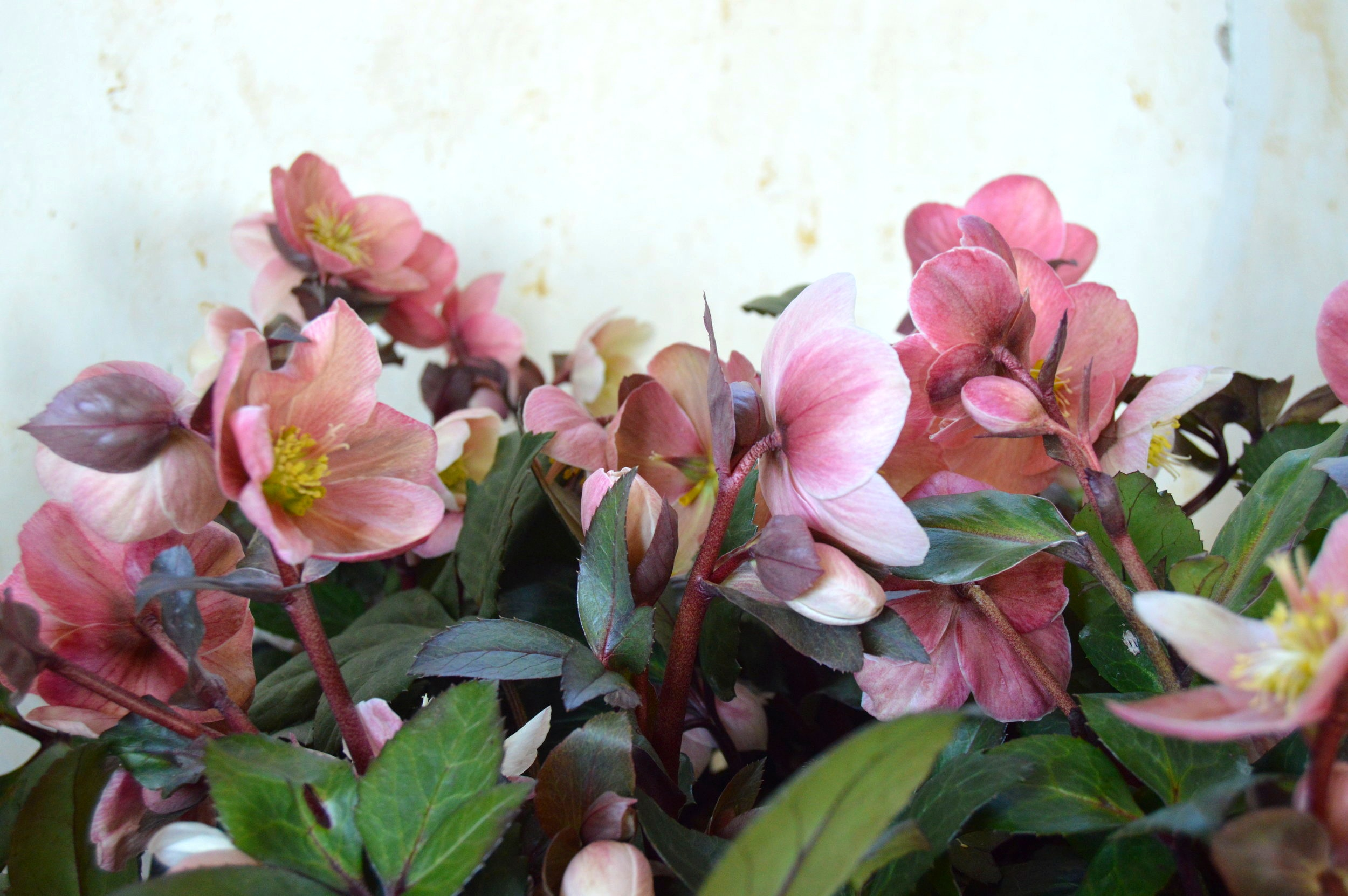 Gorgeous 'Pink Frost' Hellebore