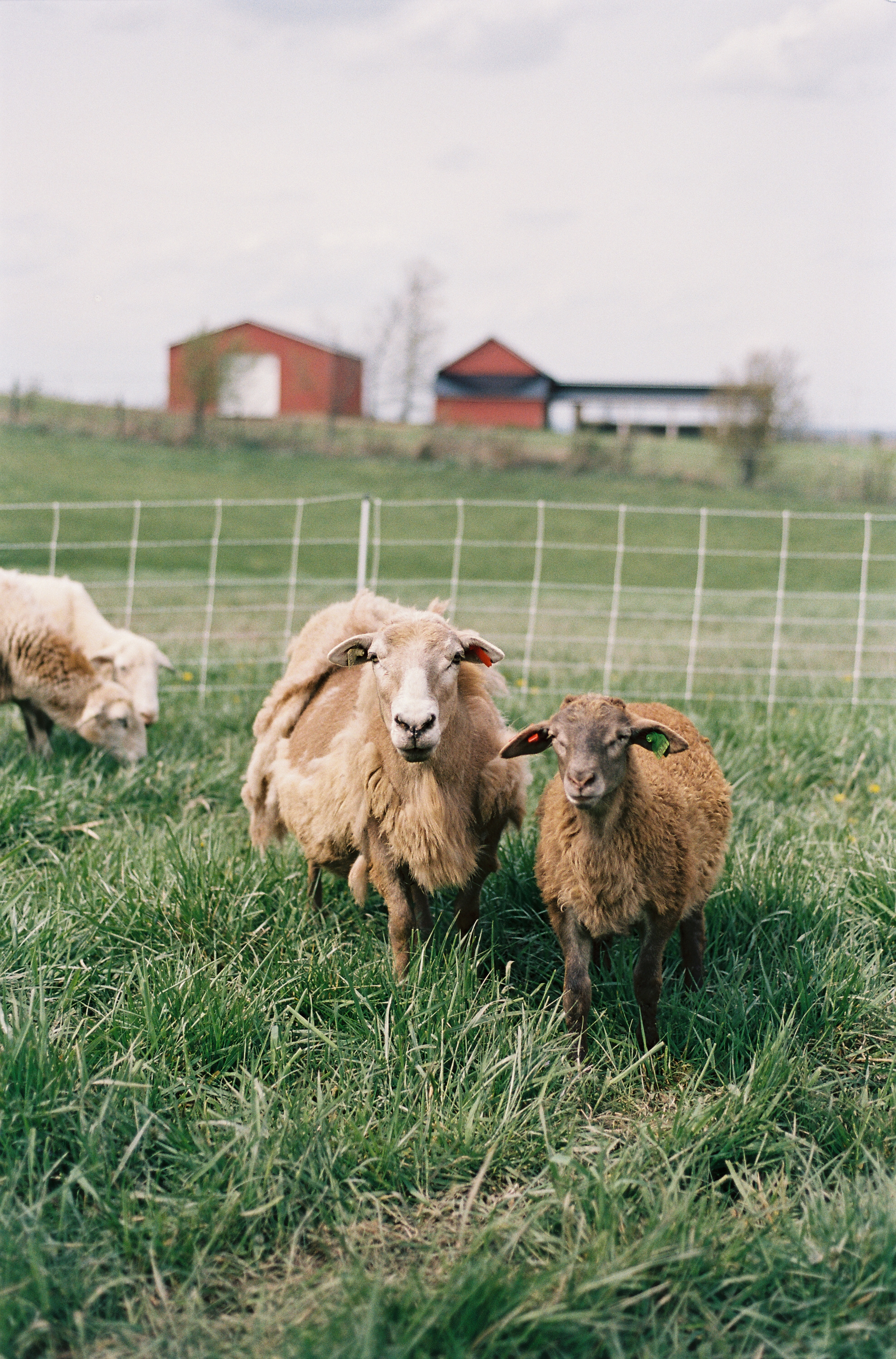 Here for the sheep? - Click HERE to learn more about our NSIP-enrolled, parasite resistant flock of Katahdin sheep. We frequently have high-quality breeding ewes and rams for sale, as well as pasture-raised lamb for the table.