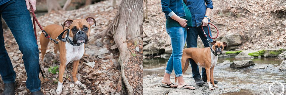 Boxer dog outside in forest and by a creek in Ottawa during maternity photo session.