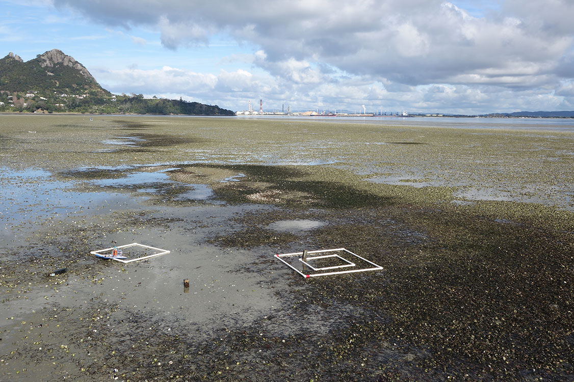 Photo 5   Zostera muelleri  transplants at McDonald Bank, Whangarei Harbour, in July 2016, which have spread slowly and steadily since planting four years earlier (Photo: Crispin Middleton).