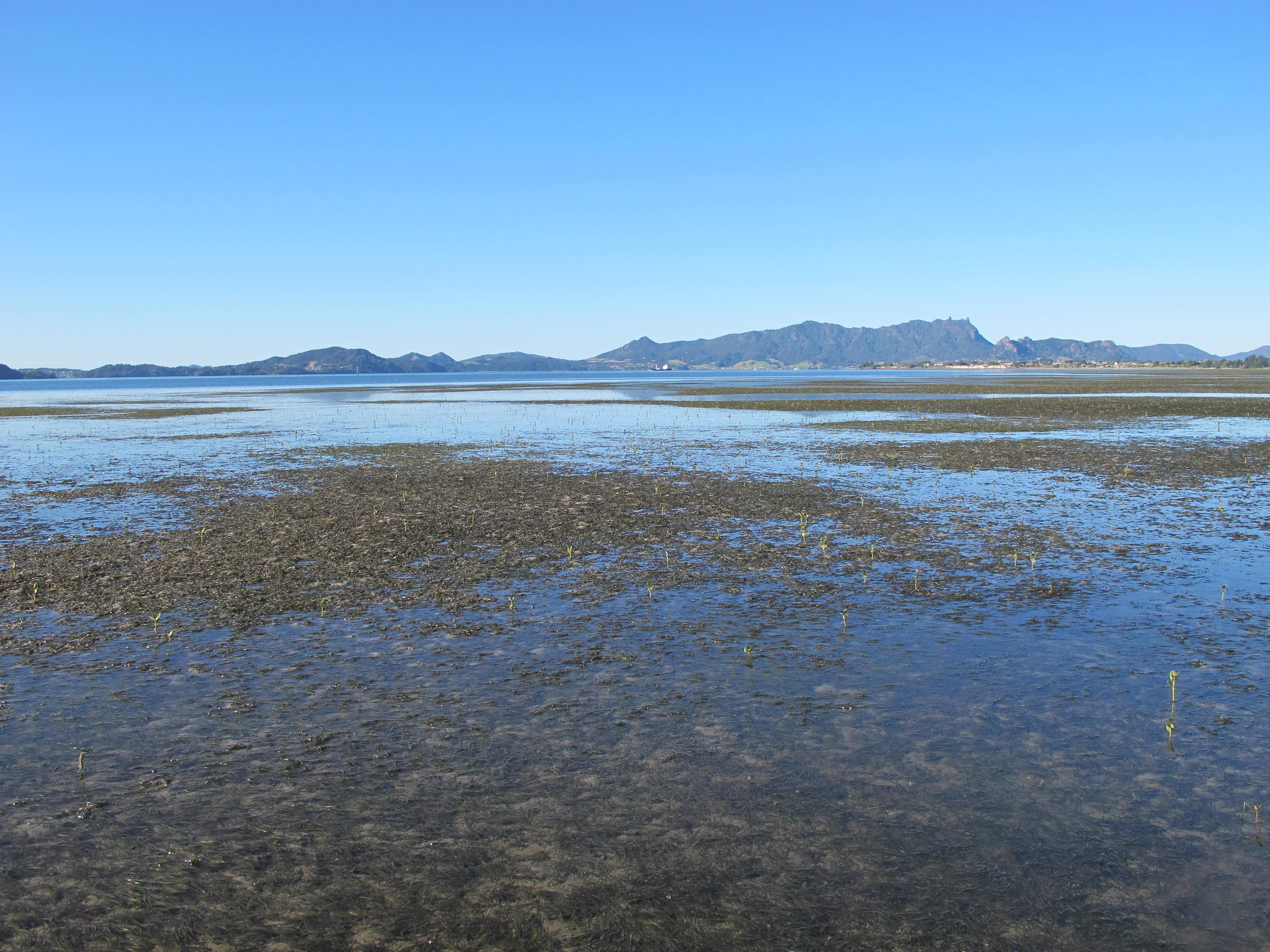 Photo 4  The regenerated seagrass meadows on the Takahiwai sandflats, Whangarei Harbour, in April 2013 (Photo: Crispin Middleton).