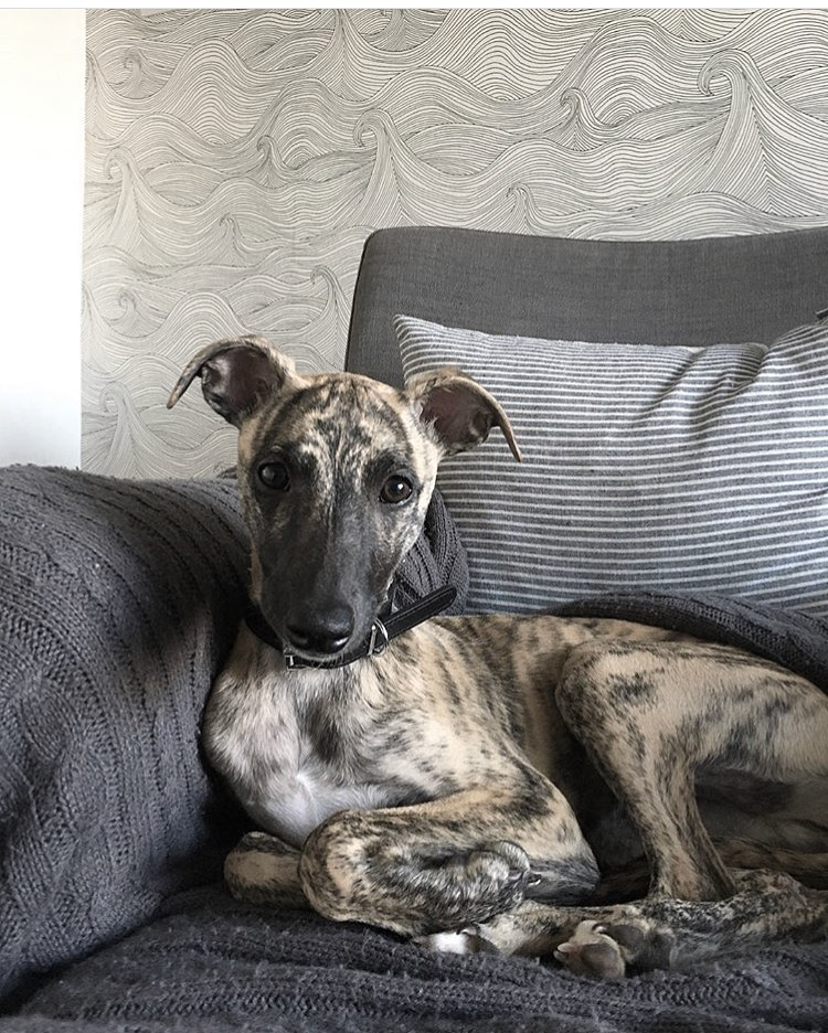 Mimi the whippet by Kate Williams