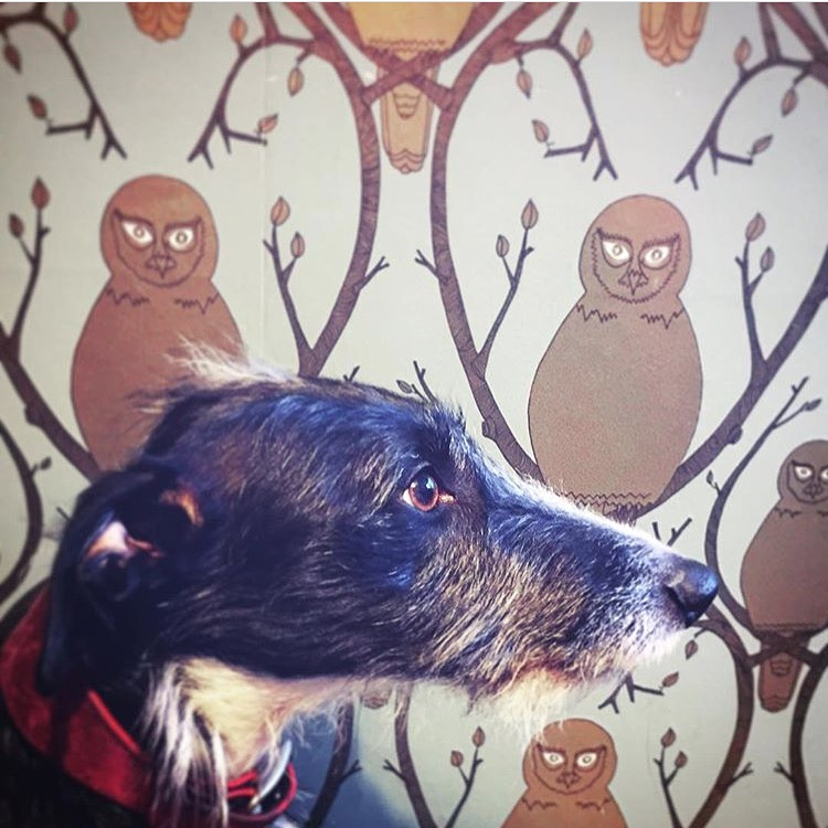 A very handsome hound with Briar Owl gold wallpaper