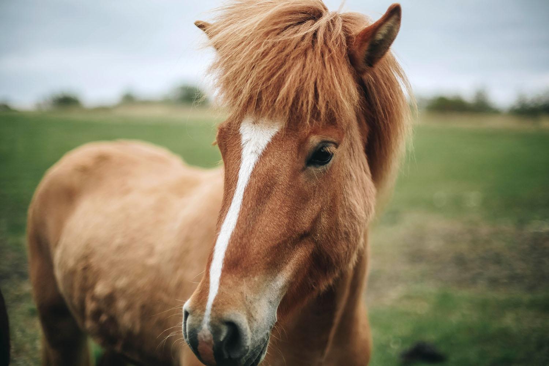 iceland_horse.jpg
