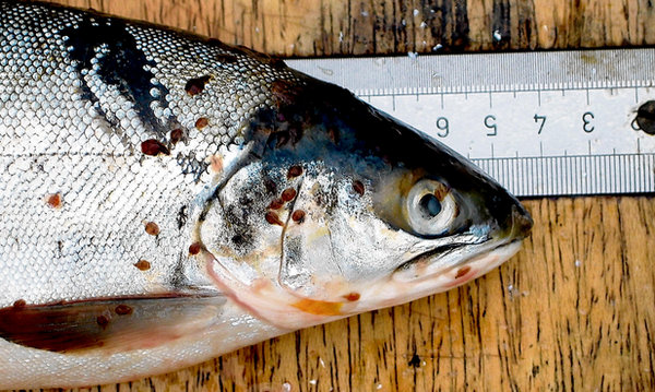 A sea trout, but you get the picture