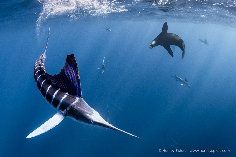 Striped_Marlin_and _Sea_Lion.jpg