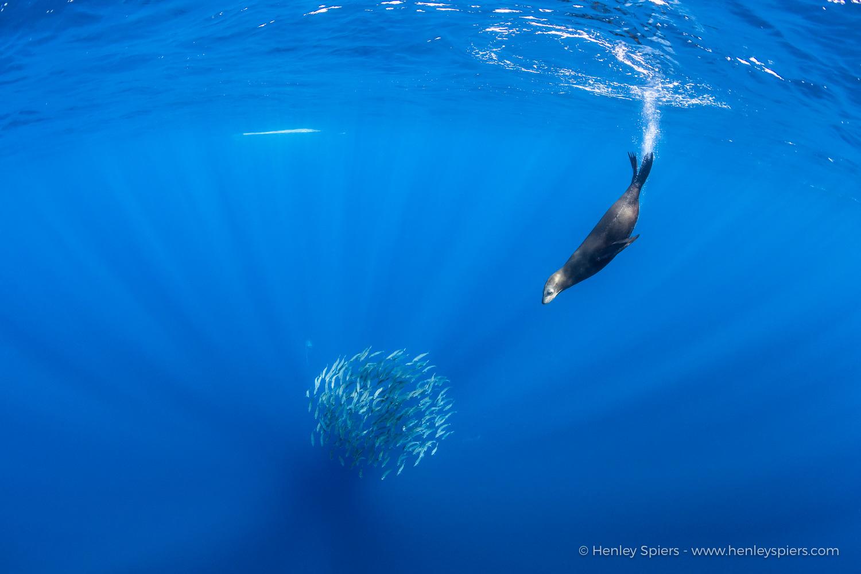 Sea_Lions_Baitball.jpg