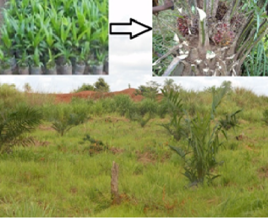 Right: Partnering with Palm Agra of Sierra Leone, EnviroOne helped farmers cultivate high-yielding palm seedlings.