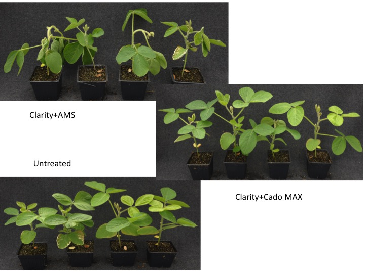 Photos from a greenhouse volatility test. Clarity + AMS show more dicamba vapor injury as compared to Clarity + Cado MAX -