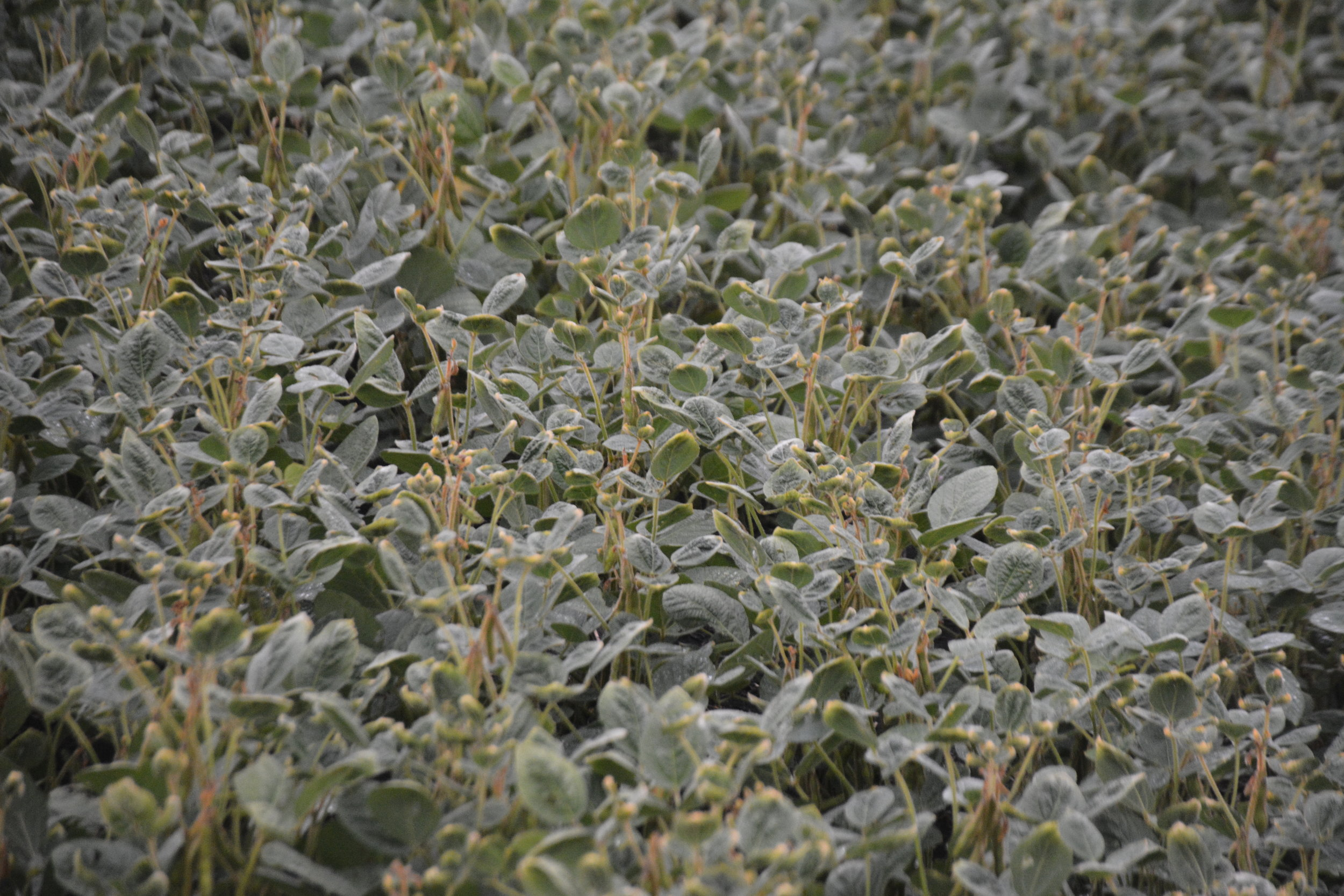 Dicamba injury to a soybean field in South Dakota.