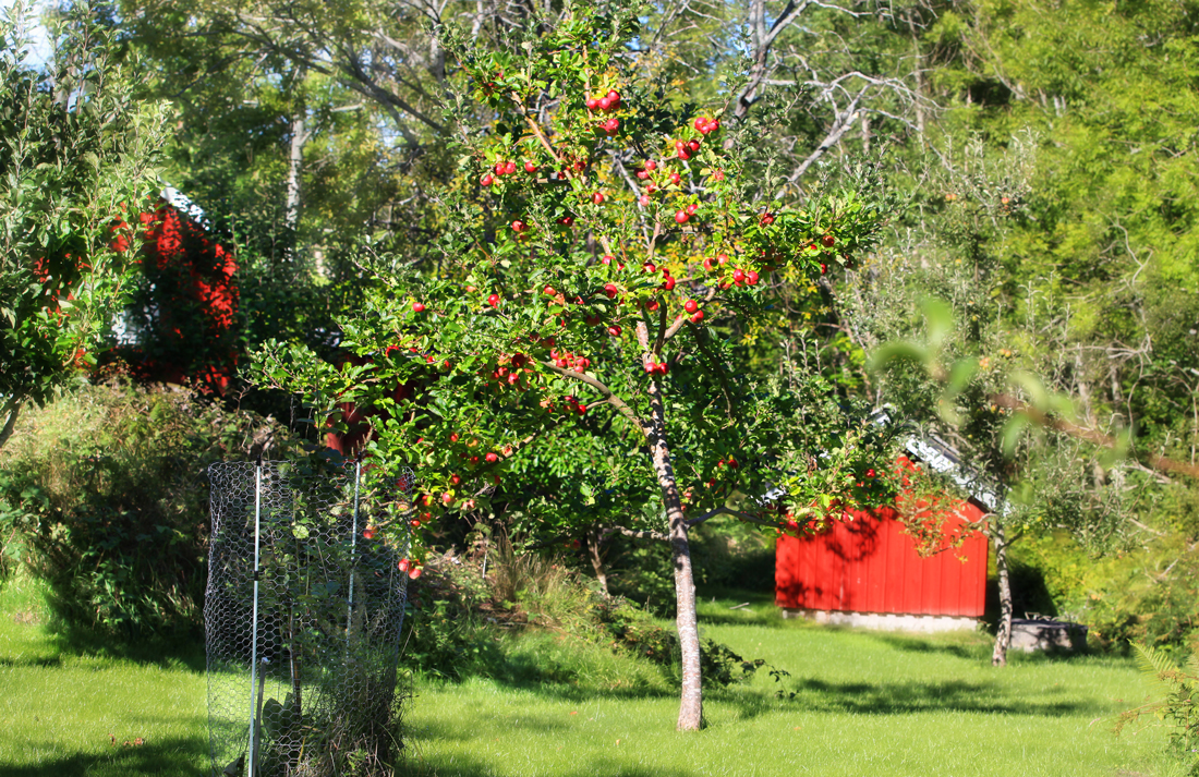 Det er flere gamle eplesorter i den historiske frukthagen på Kystmuseet.