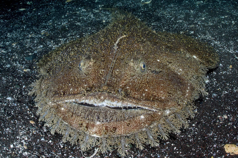 Breiflabben blir ofte observert halvveis nedgravet i sand og er lett å overse på grunn av sin gode kamuflasje.