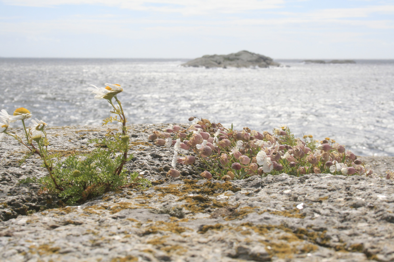 Plantelivet i Hvaler-skjærgården er både unikt og sårbart. Foto: Eirik Dahl
