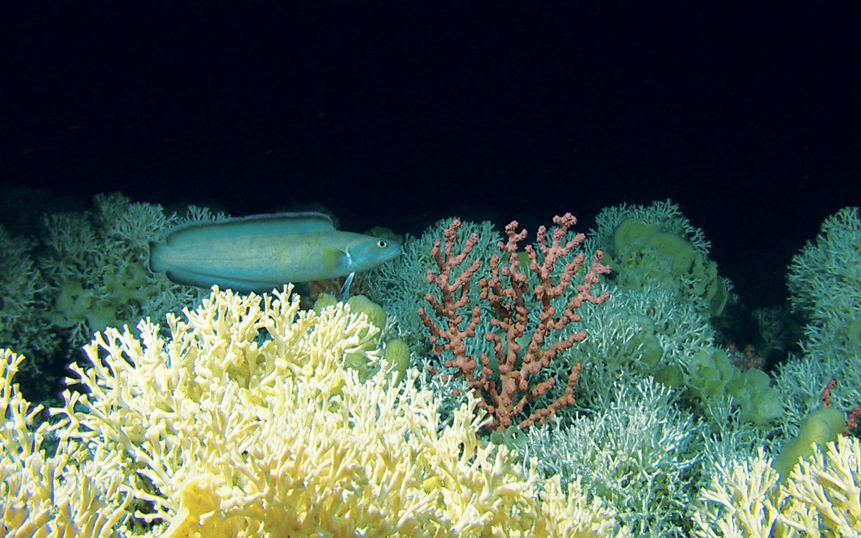 Brosme og Lophelia i Tislerrevet. Foto: MAREANO/Institute of Marine Research, Norway