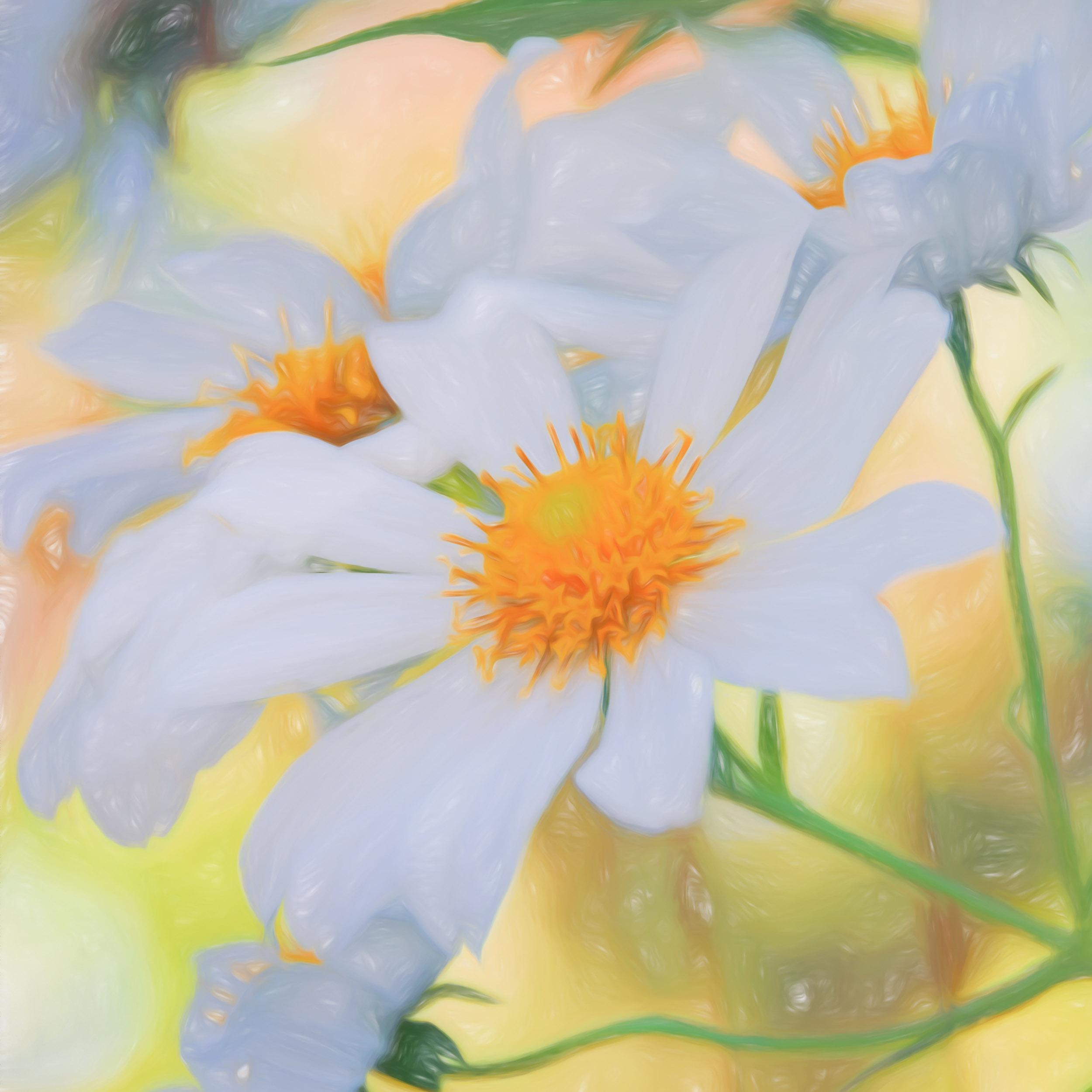 """Garden Daisy Squared"" - Photography Artist Kevin Sibbitt"