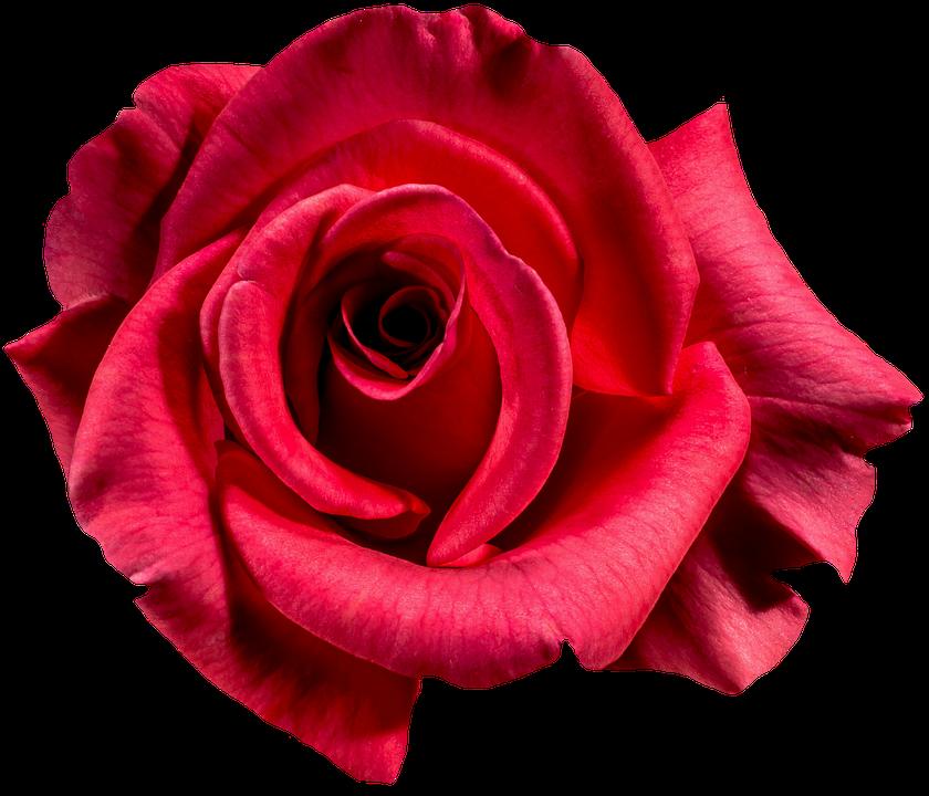 rose-1385965_960_720.png