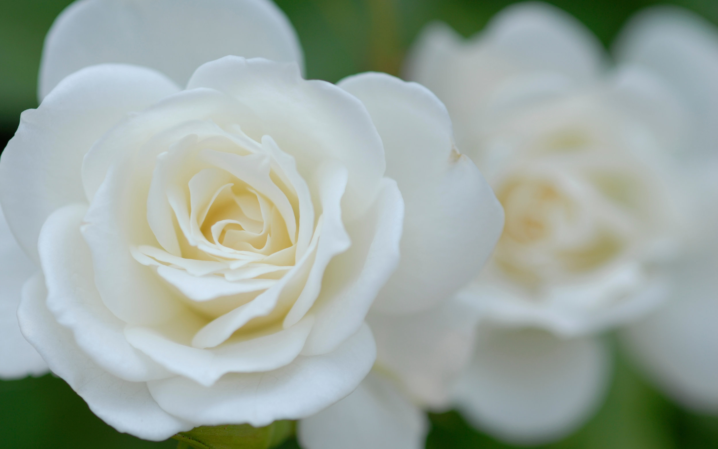 white-rose-wallpaper-background-10513-10934-hd-wallpapers.jpg