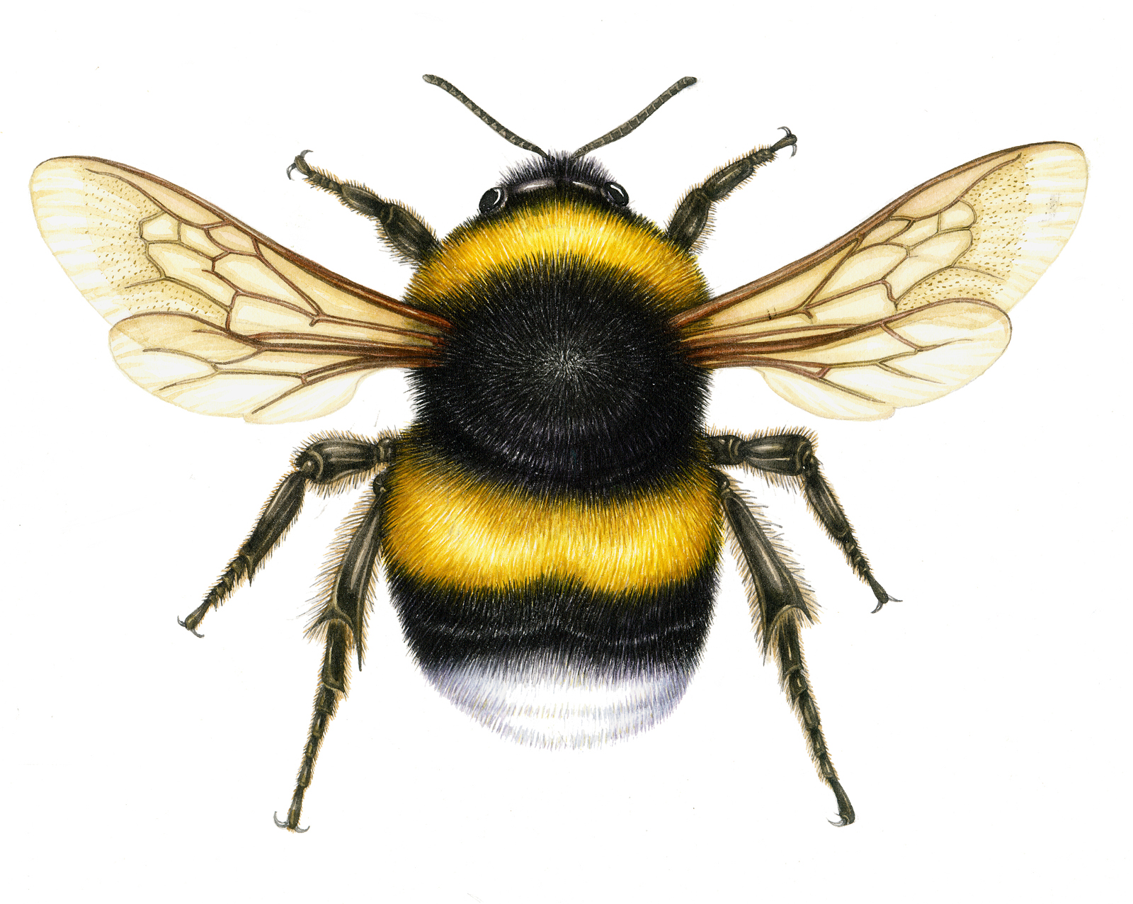 vintage-clipart-honey-bee-814568-4201702.jpg