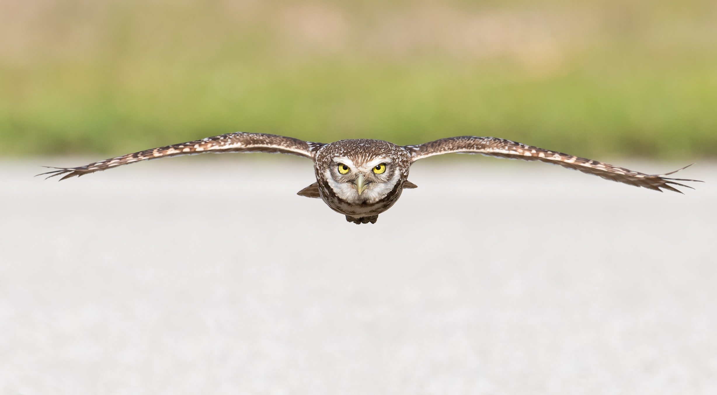 Burrowing Owl - This image is of a burrowing owl in Cape Coral, FL. While this image may not be the most impressive photo to some, it is actually one of the more difficult that I have taken. Burrowing owls are very small and very fast, coupled with one flying directly at me made it very difficult for the camera to track and keep it in focus. After fighting with this for a while I tried a new approach. Instead of trying to track the owl flying through its entire path, I picked a small area where I wanted the owl to be and focused on that. Once the owl approached that area, I then engaged the autofocus on the camera using 9 autofocus points and was able to nail this shot finally! Camera settings: Nikon D5 & 600mm f4 VR lens: Manual Mode:1/3200, f8, ISO 1000.