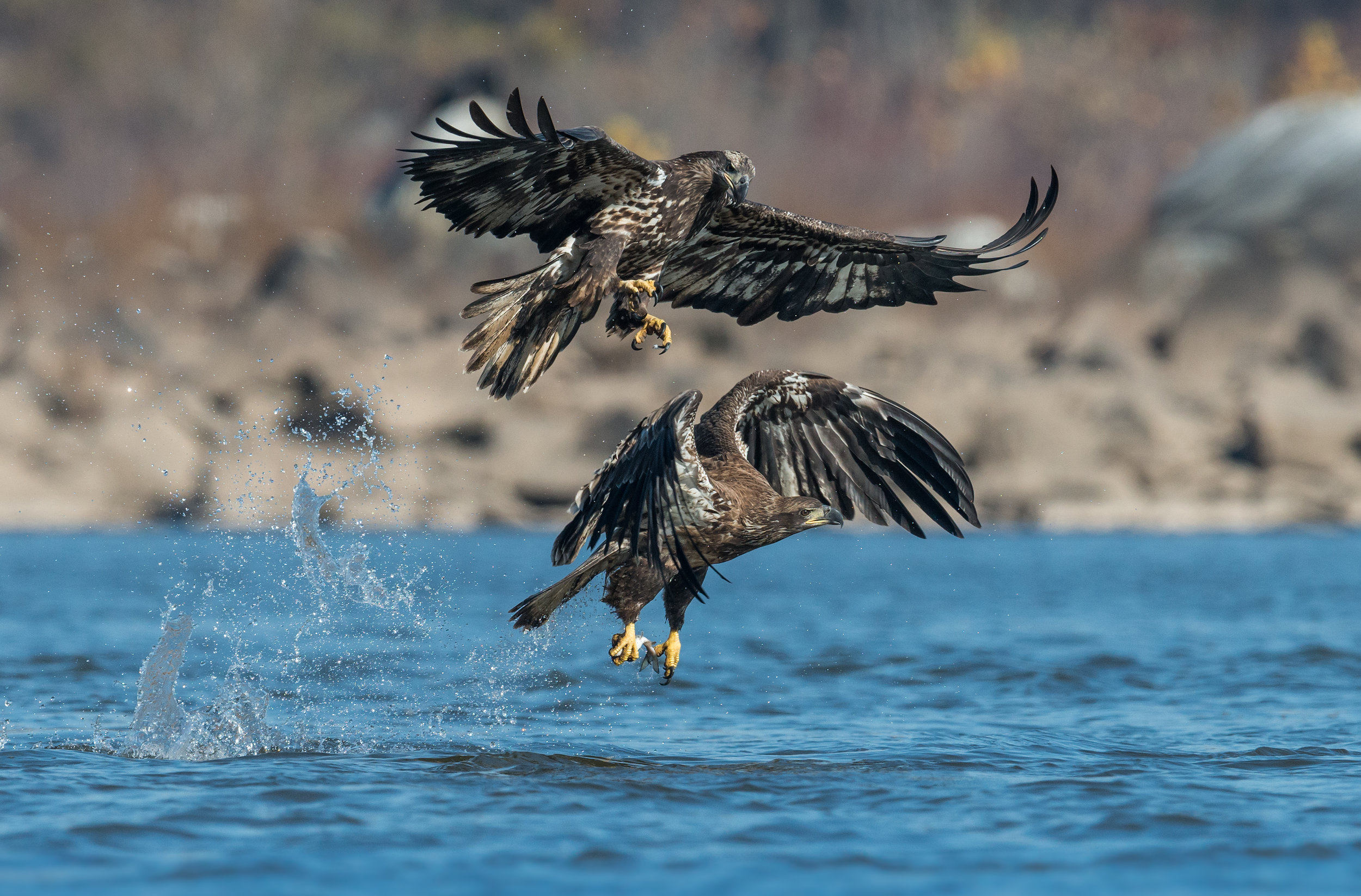 Juvenile Bald Eagles - This photo is of 2 juvenile bald eagles that were both after the same fish in Northern Maryland. I always prefer low level shots (as low as possible). When there is the opportunity to get a bird in flight at this perspective just above a surface of some sort, in this case the water, it makes the photo that much better because you are able to blur both the foreground and background. What made this photo particularly challenging was getting both birds fully in focus which to be perfectly honest was more a case of luck as the birds were at the perfect distance from me and were in the same focal plane. This photo was taken using a single autofocus point on a Nikon D5 & 600mm f4 VR lens: Manual Mode:1/2000 shutter speed, f7.1, ISO 1000