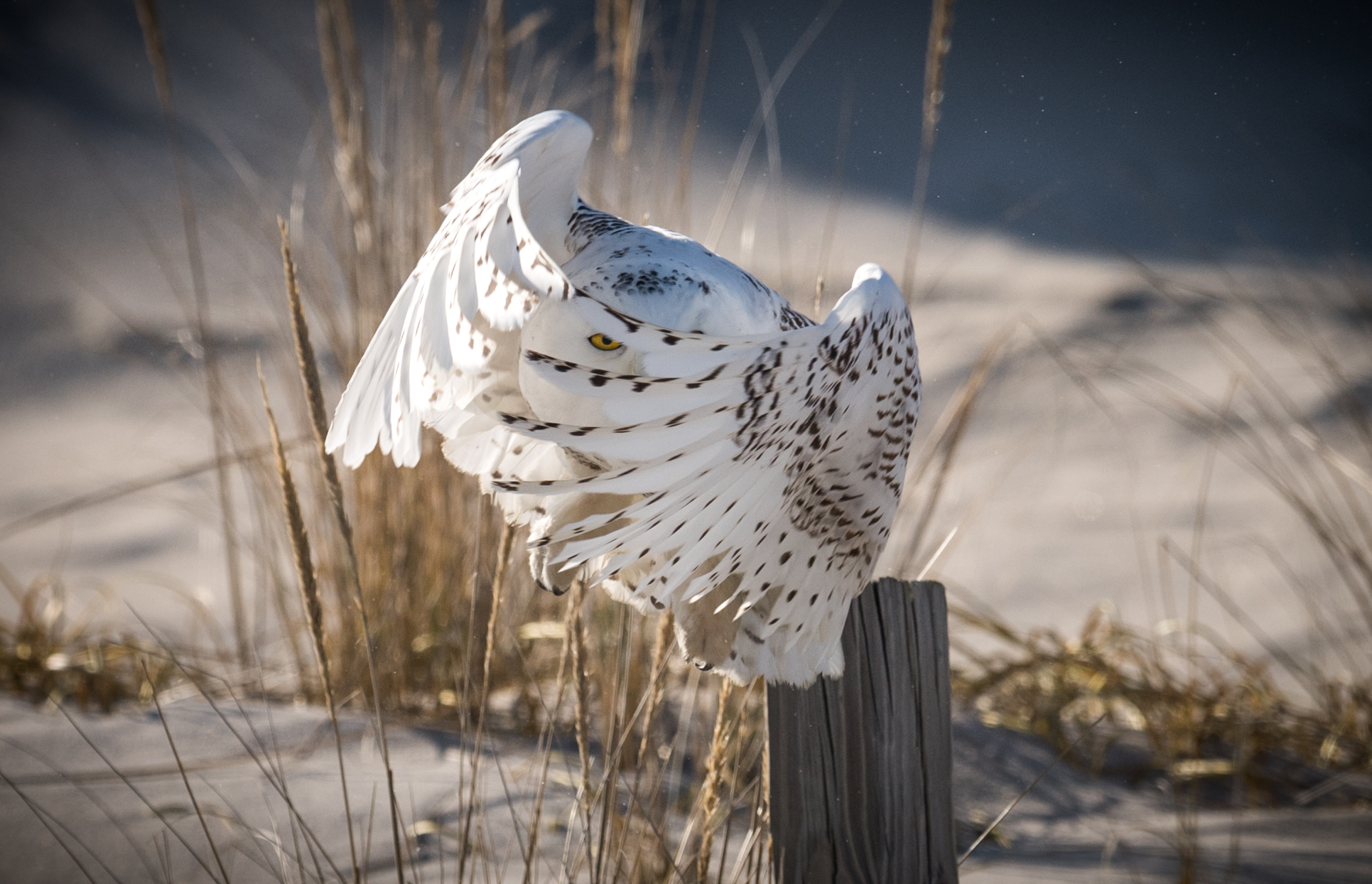 Snowy Owl - This is an image of a snowy owl that was taken in New Jersey in 2017. The owl had been sitting on this post prior to this moment. Unfortunately there was a man with a cell phone trying to take photos of the owl and he was getting too close forcing the bird to keep flying away from him. Finally a park ranger arrived and while in the process of making the man leave, the owl took flight. I fired away taking many photos but this was my favorite of the series because I liked the way the eye is seen through the primary feathers. The lighting was very harsh as this was mid day on a sunny day but sometimes I can overlook that for a moment like this.Camera settings: Nikon D5 & 600mm f4 VR lens: Manual Mode:1/3200, f7.1, ISO 400.