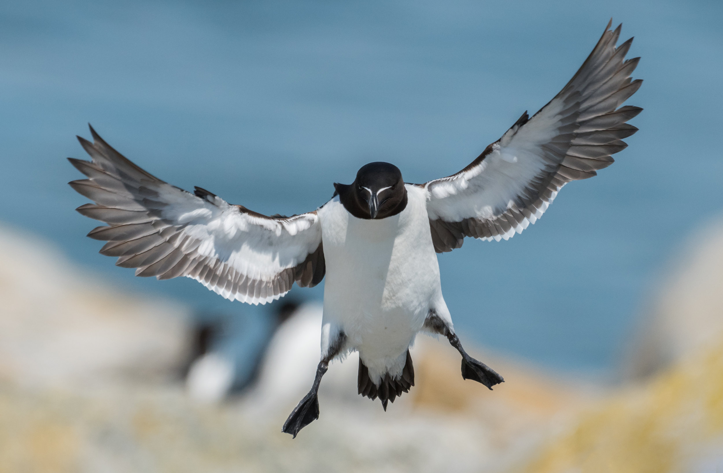 Razorbill - This image of a razorbill was taken on Machias Seal Island on the same trip that I took the photo of the puffin. The story isn't much different about this photo. Razorbills also nest on the island alongside the puffins and resemble penguins other than the obvious, that they can fly. I loved the straight on approach that the bird had with its wings spread. Camera settings: 1/4000,f7.1, ISO 800 on a Nikon D810 and 200-400mmf4 VR-II.