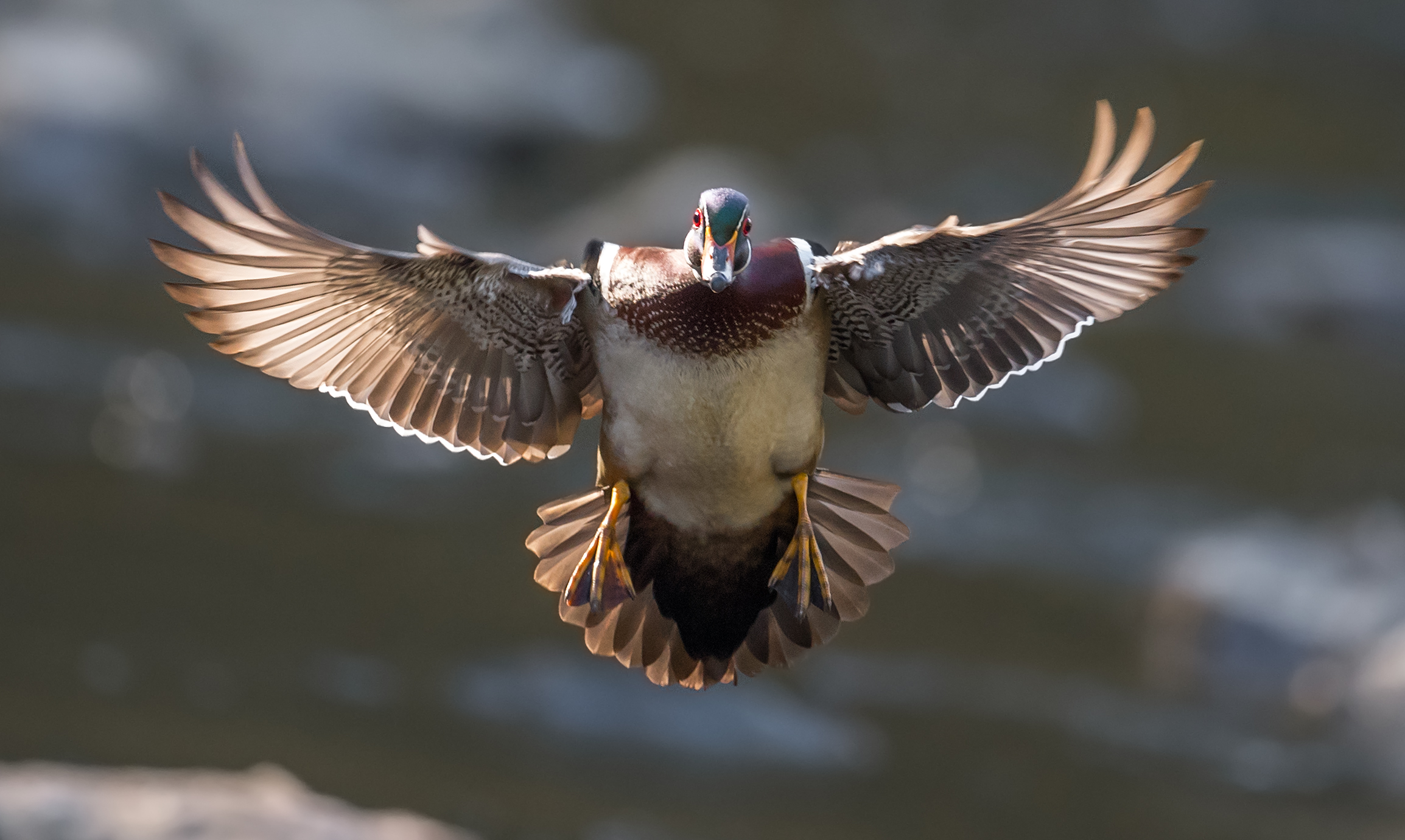 Wood Duck - I have been photographing these wood ducks in Pennsylvania for several years but until this year I had never bothered to try for flight shots. Normally I am set up sitting in the water with my camera just above the water's surface which makes it very difficult to track these ducks in flight. They are very fast and don't often provide good opportunities for flight shots. On this day I decided I would change that and forced myself to spend the day only tracking them in flight. After a while one male duck finally cooperated for me producing this image. I used a single autofocus point as there are many trees in the background that often will force the camera's focus off of the bird when using several focus points.Camera settings: Nikon D5 & 600mm f4 VR lens: Manual Mode:1/2500, f7.1, ISO 2500.