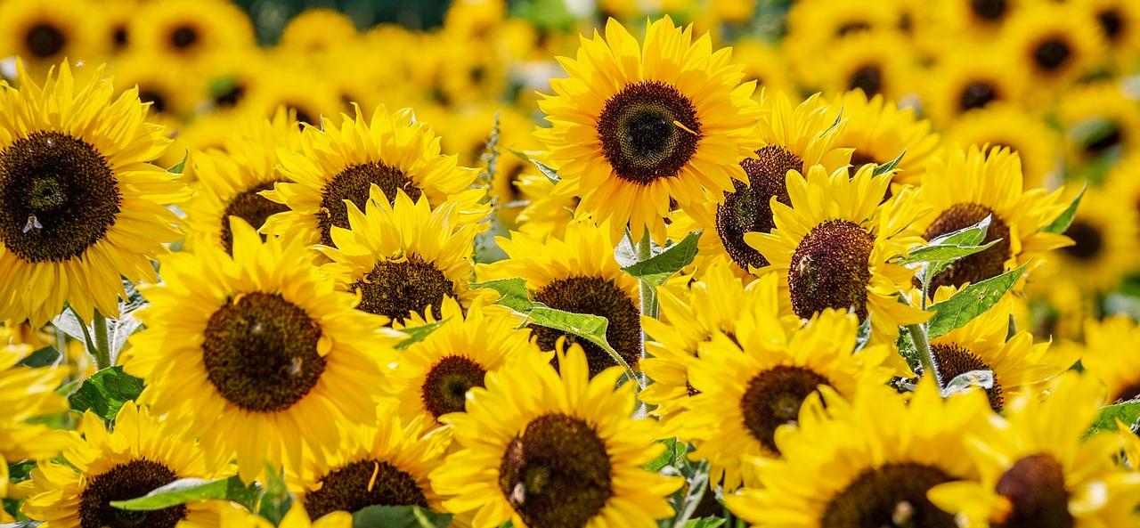 sunflower-3792914_1280.jpg
