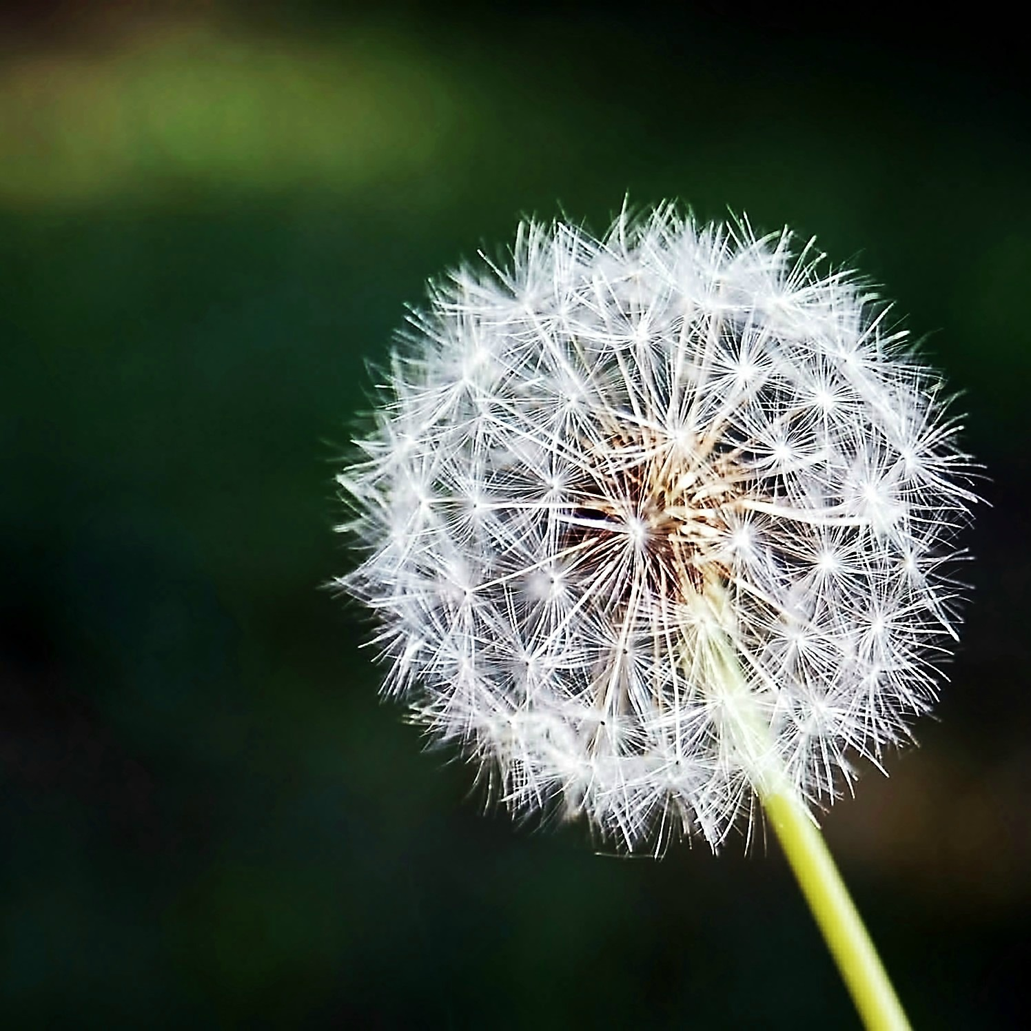 common-dandelion-dandelion-flower-bud-56896_LR_2212x2212.jpg