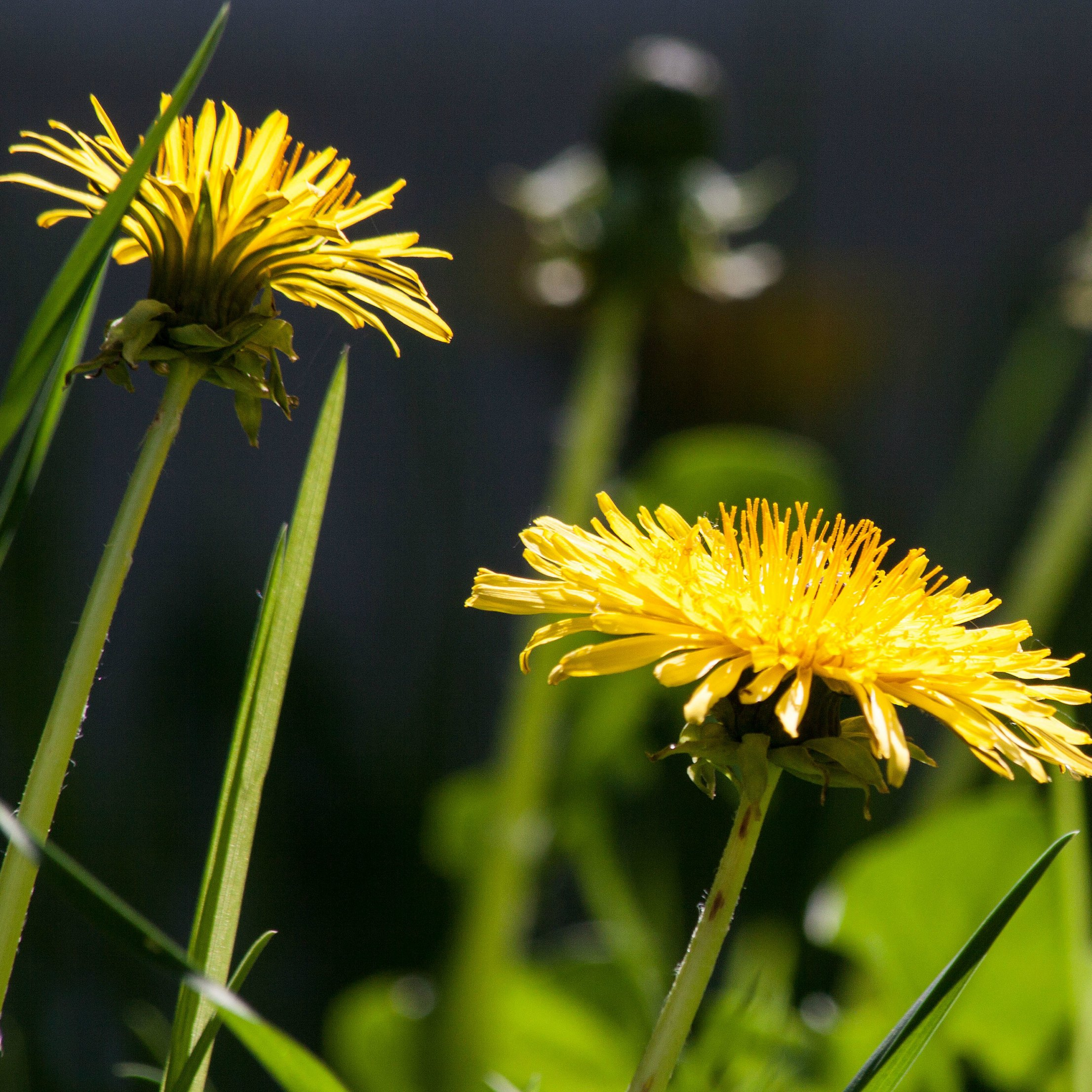 dandelion-flower-flowers-nature-67612_Square.jpg