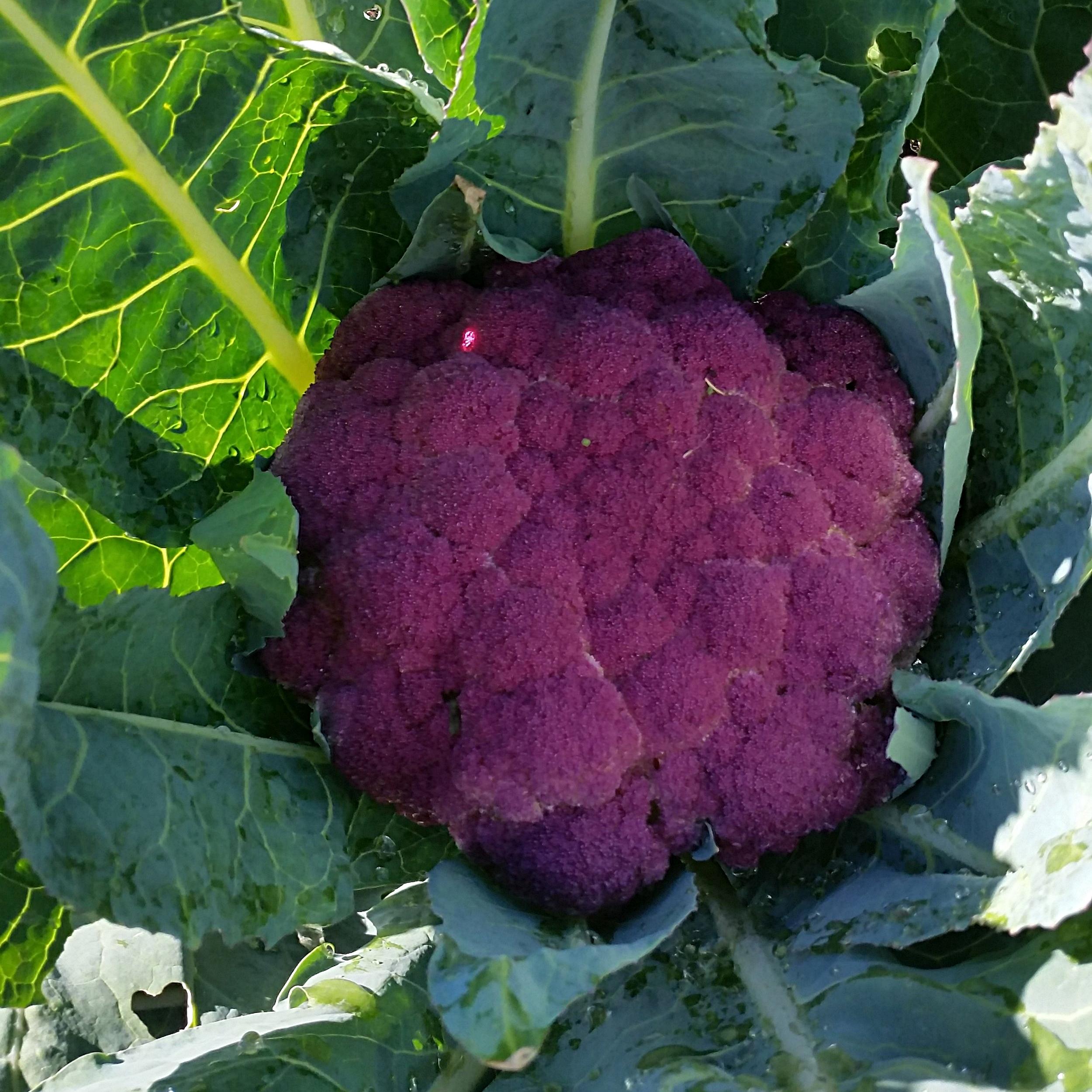 Purple heirloom cauliflower