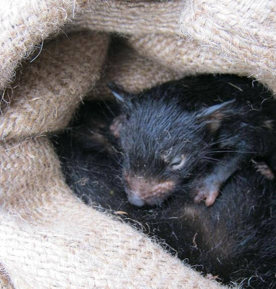 A Tasmanian devil joey nursing.